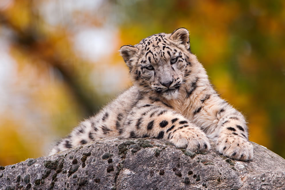 Snow leopard cub posing on a rock with blurred autumn background at Basel Zoo, Switzerland