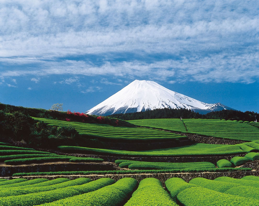Tea fields and Mount Fuji