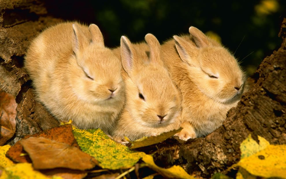 Three bunnies napping in the autumn foliage