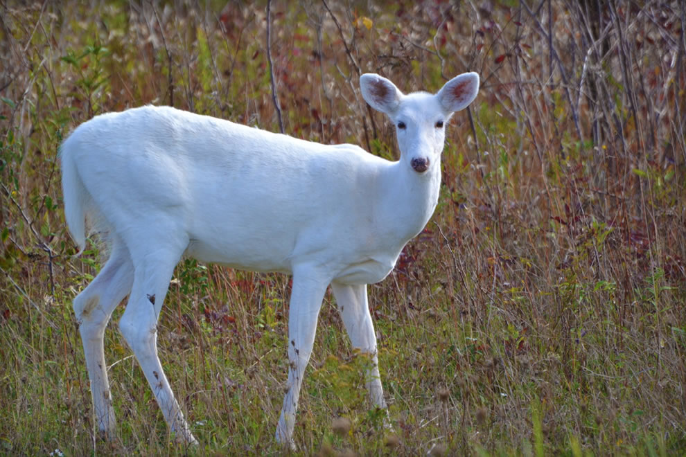 White White-tailed Deer during autumn at the Seneca Army Depot in New York
