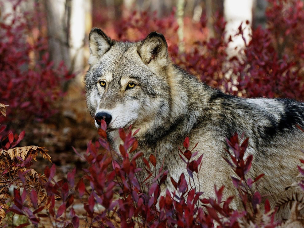 Wolf among the red fall foliage