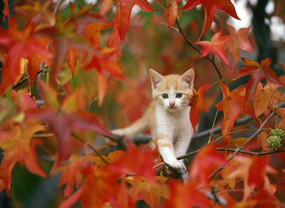 call the fireman, kitty stuck out on a limb among red leaves of autumn