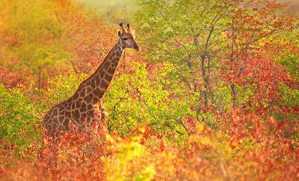 giraffe cruising through the fall foliage