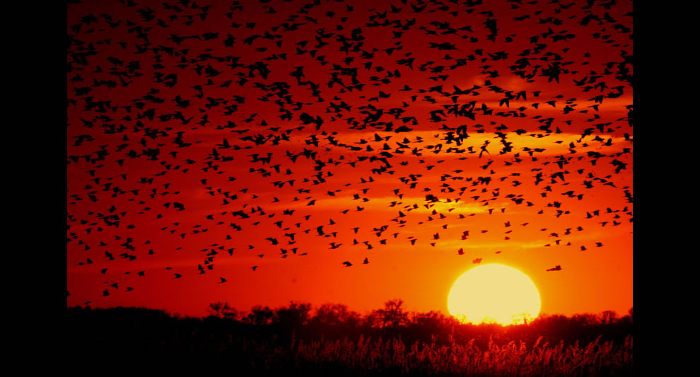 A flock of Red-winged Blackbirds flying into the sunset