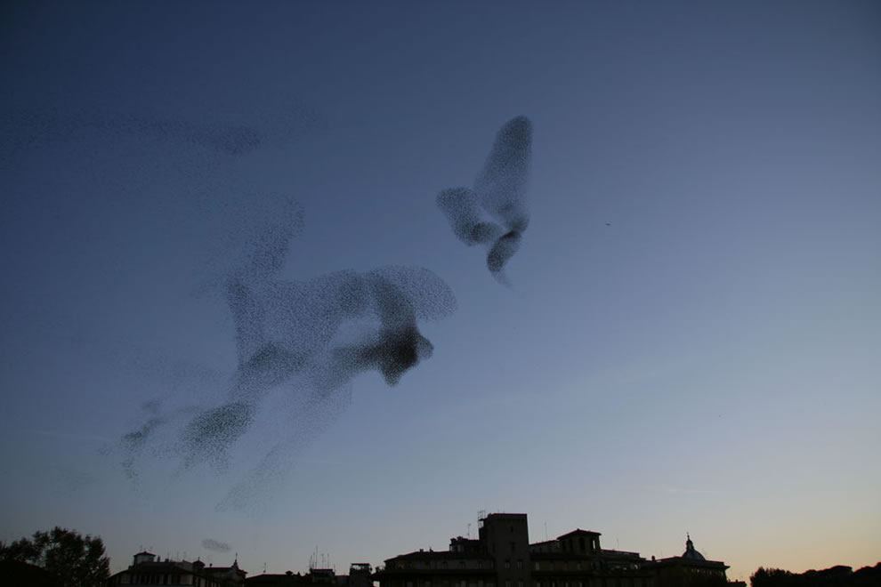 A large flock of European Starlings (also known as Common Starlings) at dusk over Rome, Italy