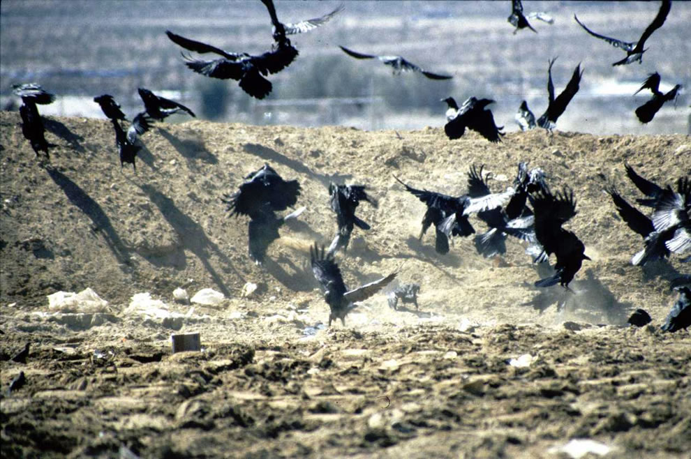 Attack of the Ravens, Group of common ravens at a landfill