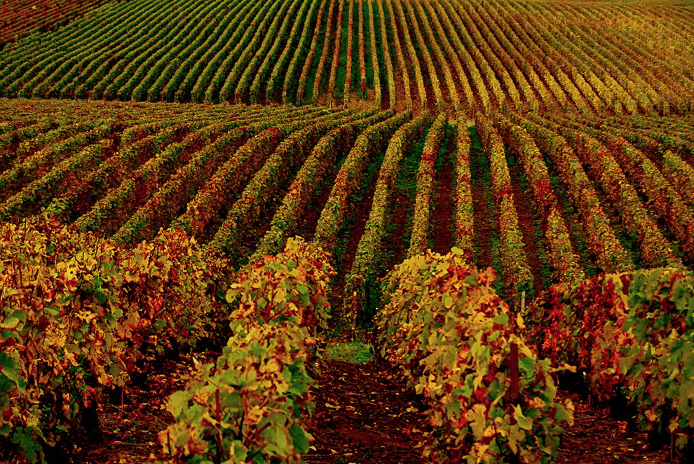 Autumnal vineyards on the hill as seen from the road between Hermonville and Villers Franqueux, France