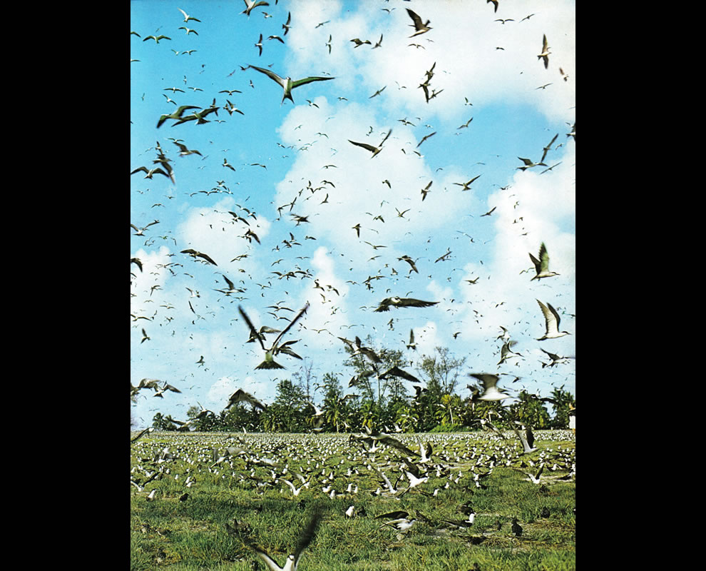 Bird flock, Bird Island Seychelles, wonder if Hitchcock visited before writing The Birds