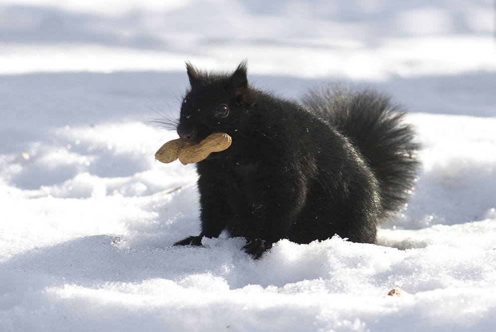 Black squirrel eating a peanut in the snow
