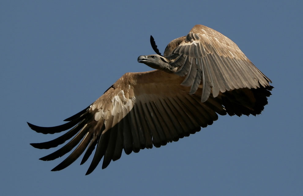 Vulture, a Cape Vulture in flight at the Rhino and Lion Nature Reserve, Cradle of Humankind, Gauteng, South Africa