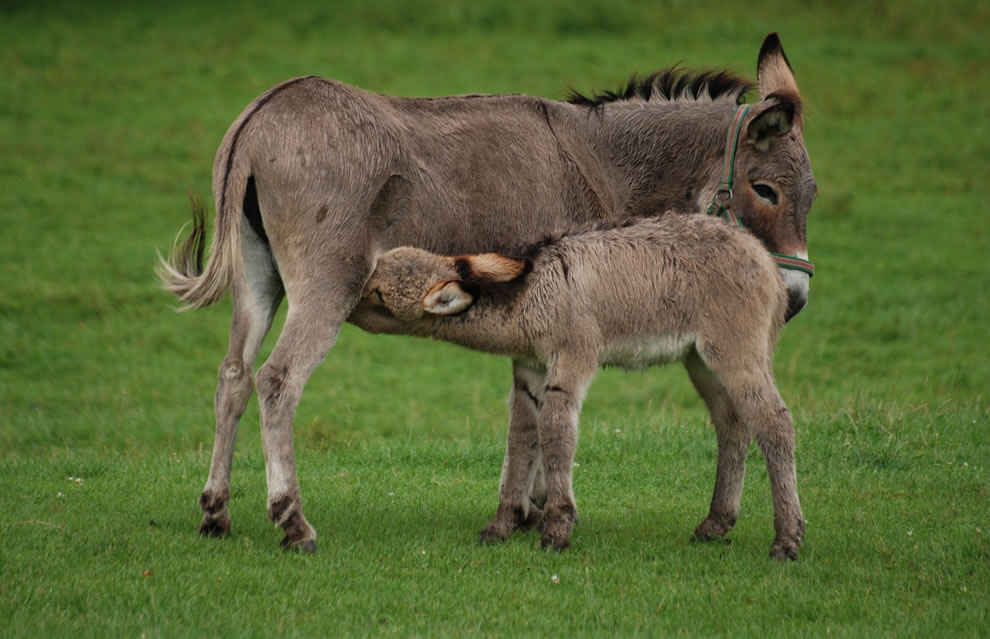World Animal Day Animal ABCs - Donkey and her nursing foal