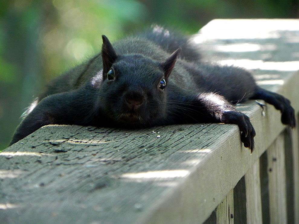Exhausted black squirrel resting