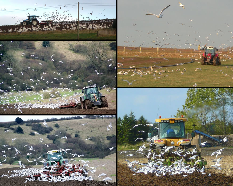 Farmers and tractors under attack by birds