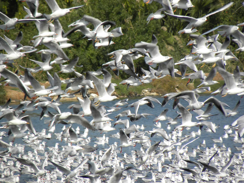 Flock, swarming in Israel -- Black-headed Gulls and a few Slender-billed Gulls