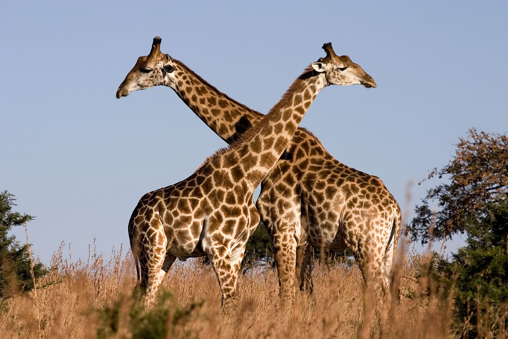 Giraffes fighting in Ithala Game Reserve, northern KwaZulu-Natal, South Africa, World Animal Day animal ABCs
