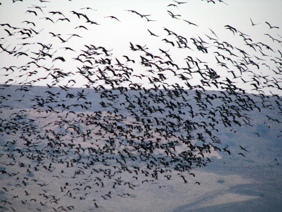 Grey Cranes