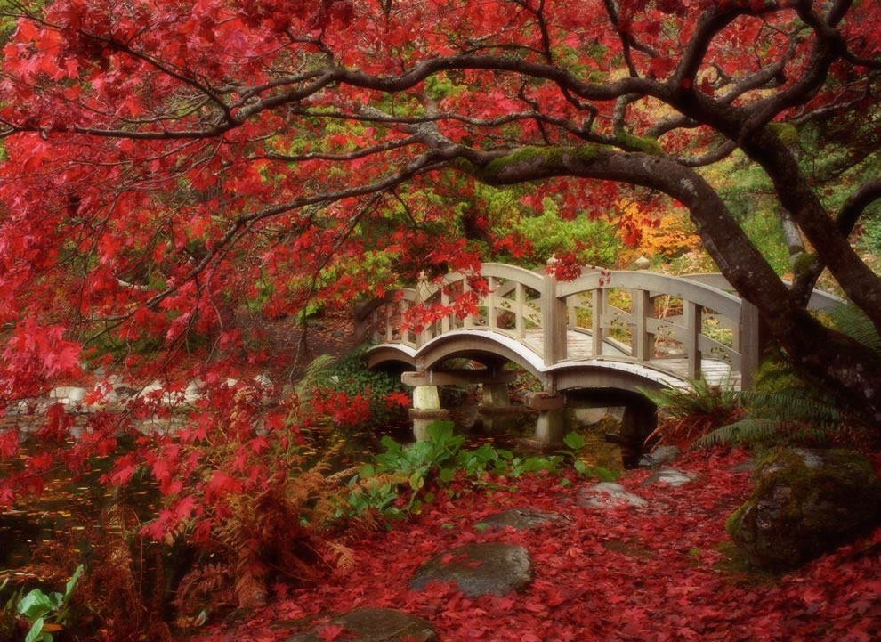Japanese maple with red leaves and white wooden foot bridge, colors of fall