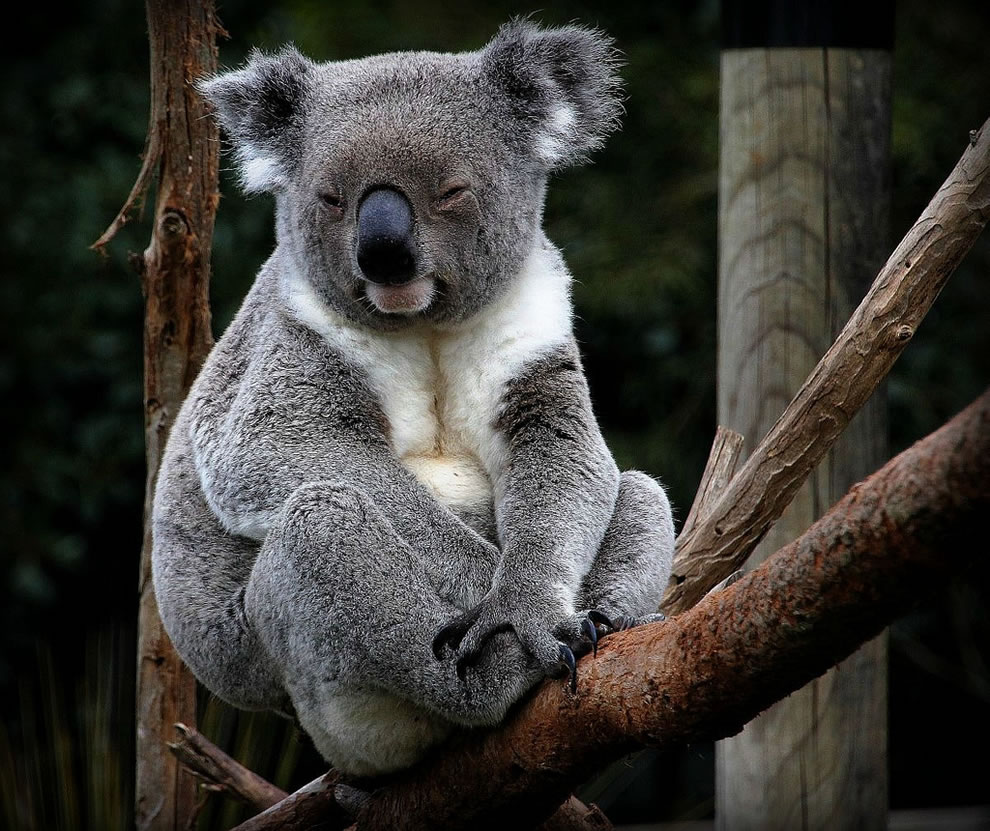 K is for Koala