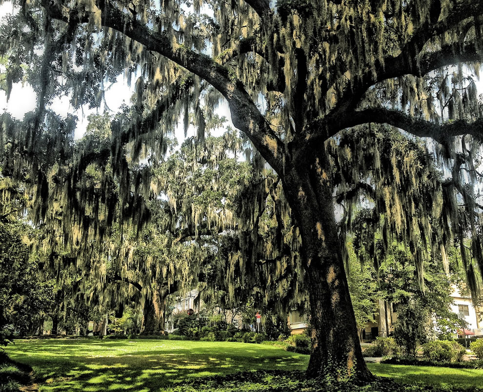 Live oaks and Spanish moss in downtown Tallahassee on East Park Avenue
