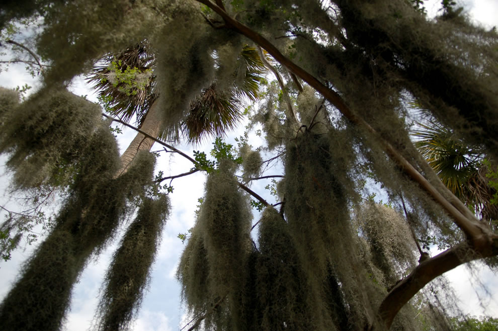 Looking up at the Spanish moss in Savannah