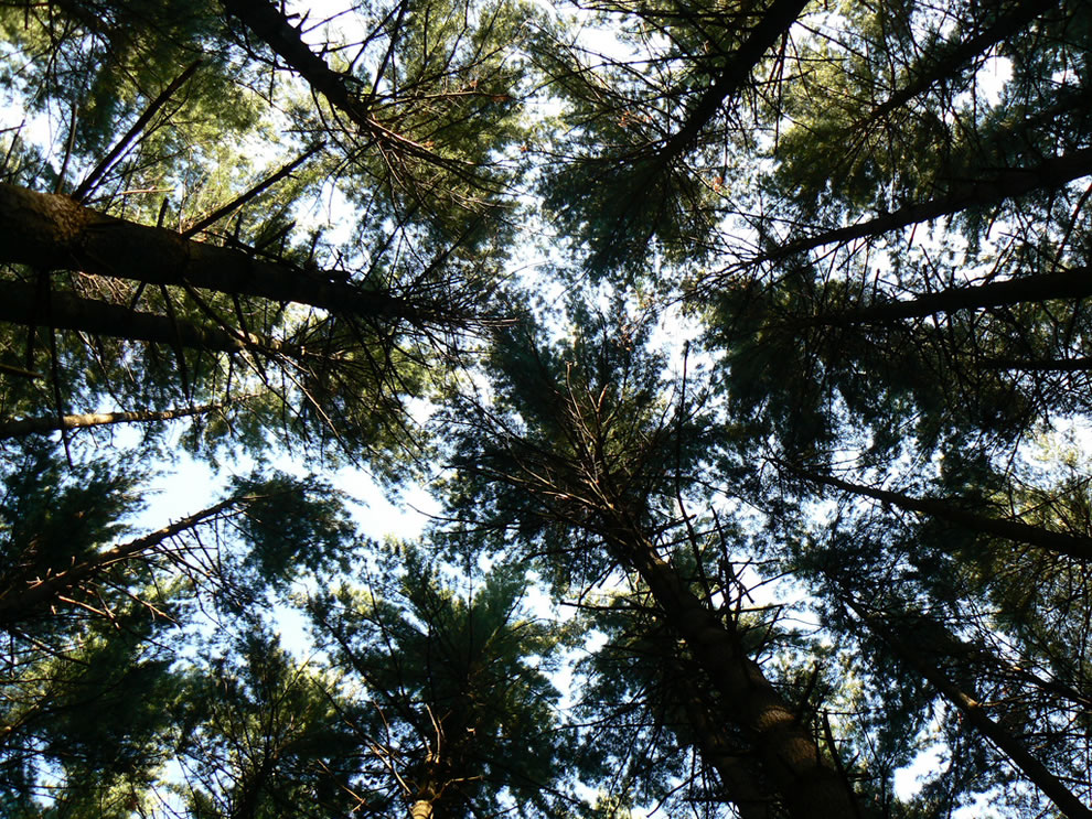 Looking up through the pines on trail along the way to Rose Lake