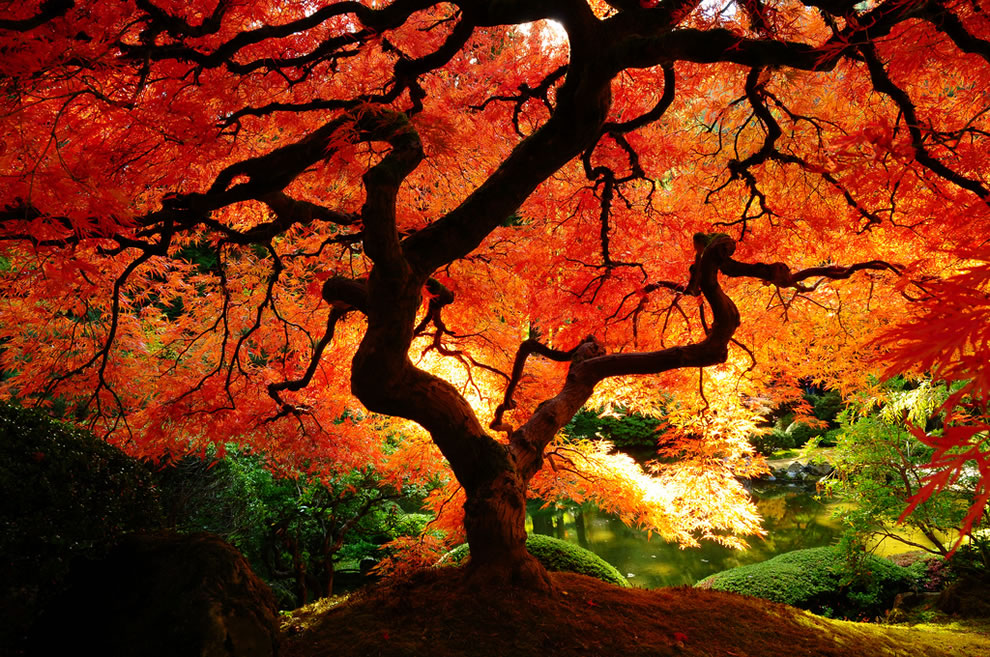Orange autumn explosion on big beautiful tree, fall season