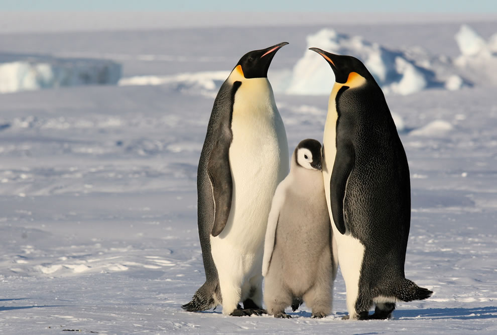 Penguins, a family of Emperor Penguins in Antarctica
