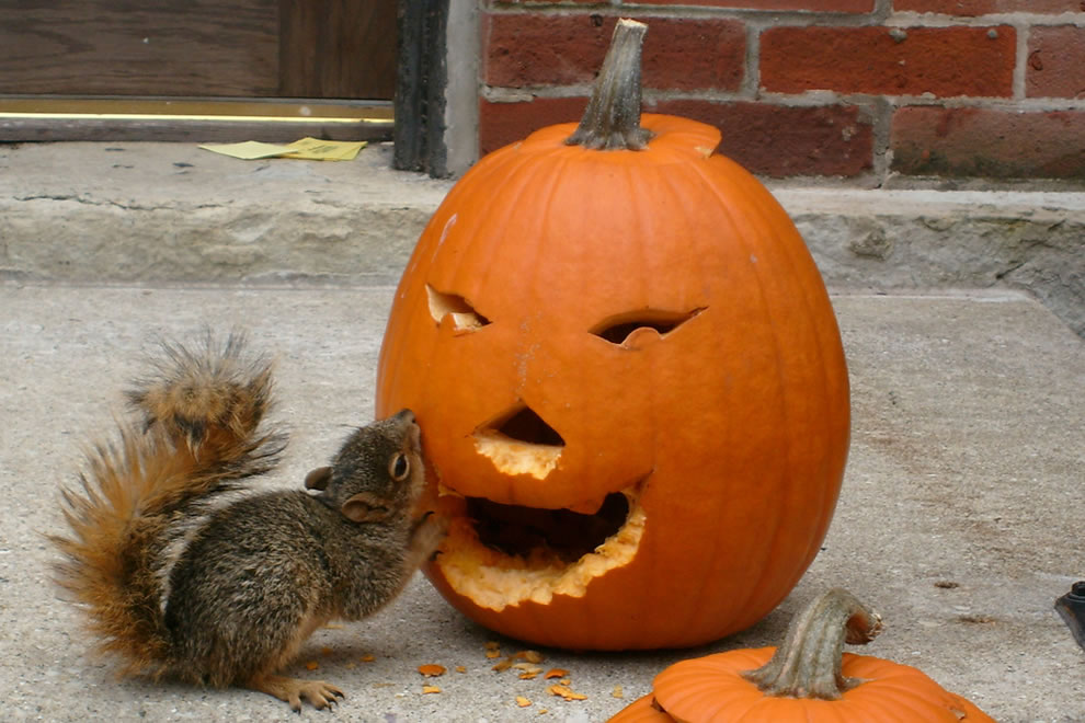Pumpkins make tasty squirrel food