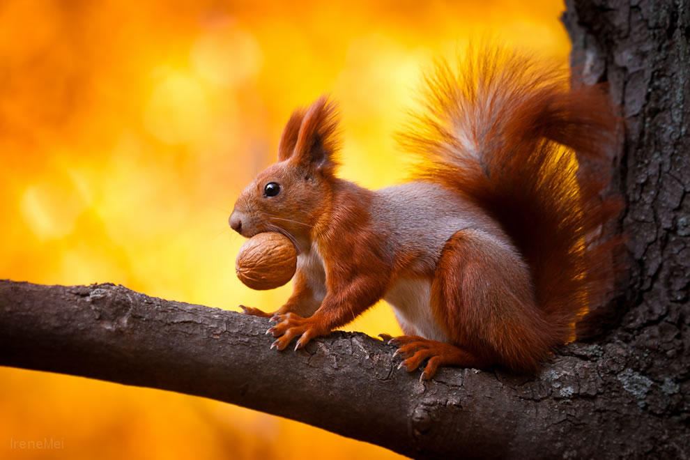 Squirrel with a walnut trophy in Kharkiv, Ukraine