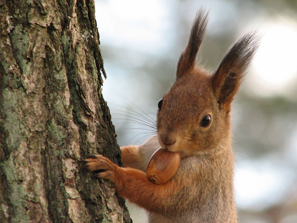 Squirrel-with-acorn.jpg