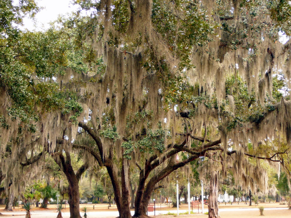 St Helena Chapel of Ease, South Carolina, a stunning example of the Spanish Moss that grows on trees in South Carolina