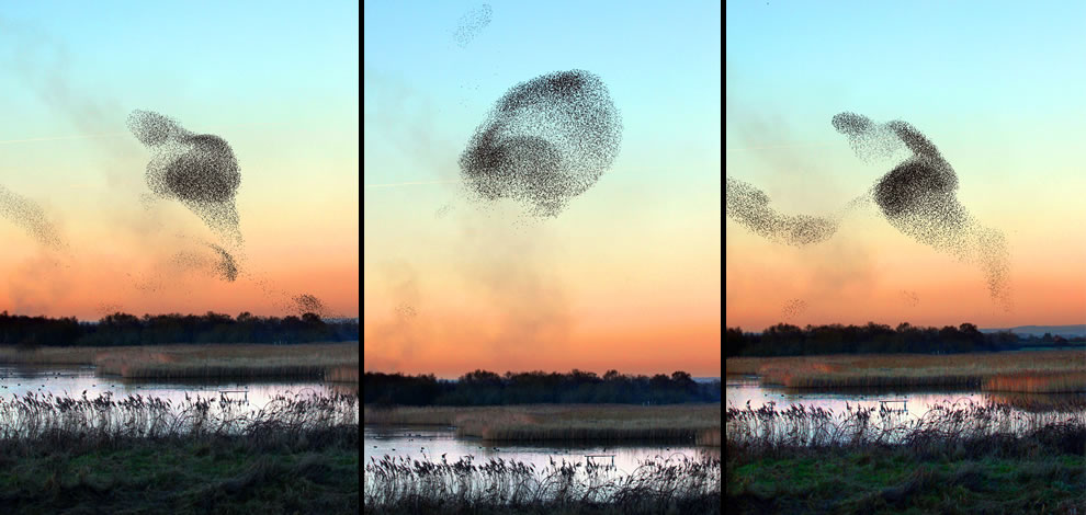 Starling Murmuration -- roosting Starlings on the Somerset levels