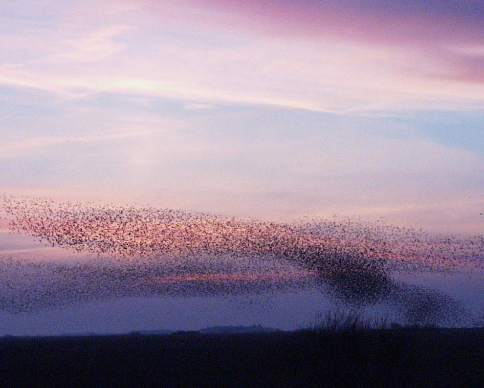 Starlings forming fascinating formations over Tøndermarsken, south-west Jutland, Denmark