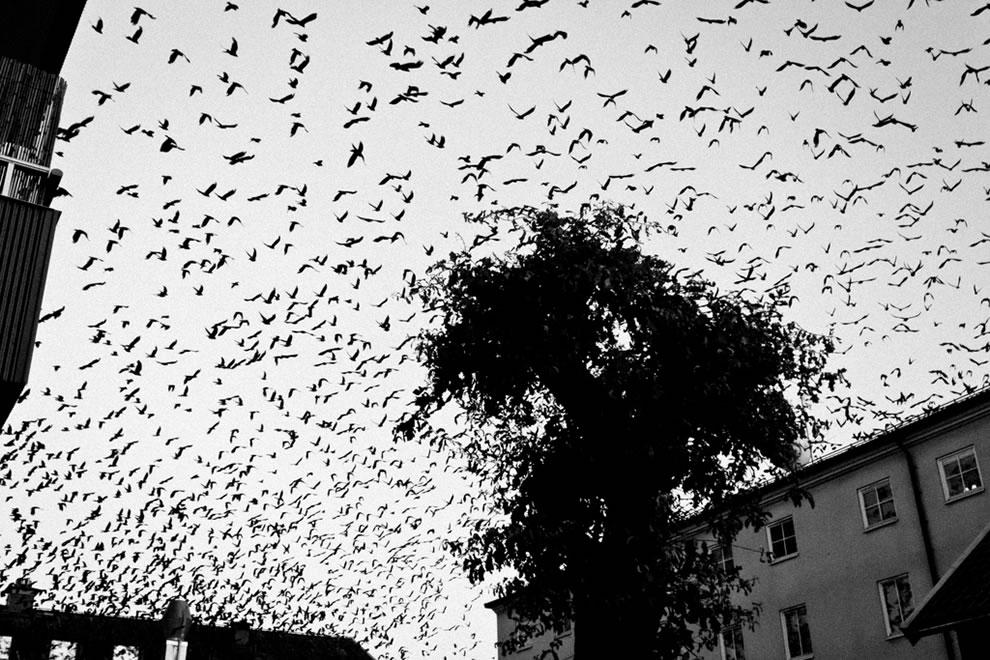 The Birds in  Nykoping, Sodermanland, SE