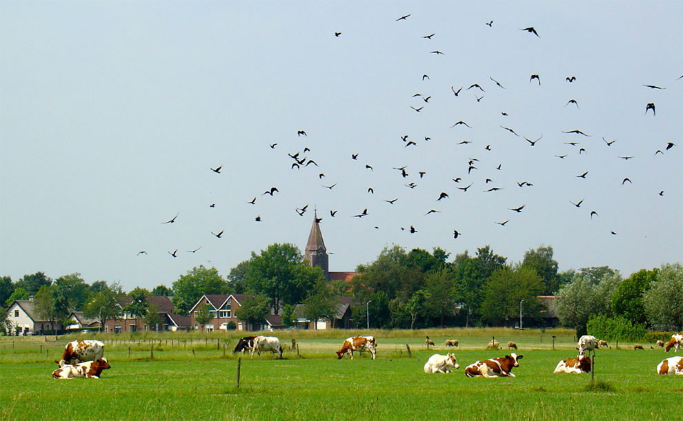 The birds flock attacking the cows
