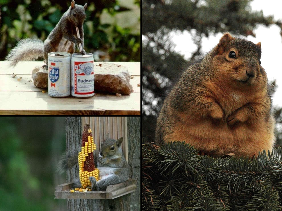 Too much beer or corn leads to fat boy squirrel