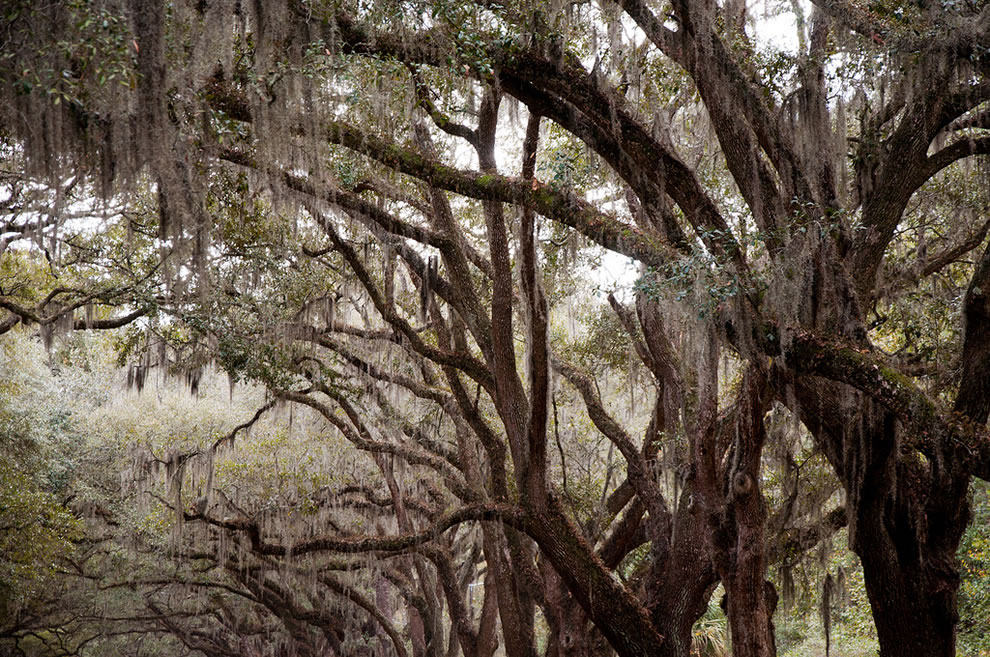 Trees with Spanish moss in the American Southeast