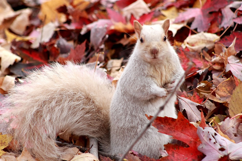 White squirrel sitting in the fallen autumn leaves