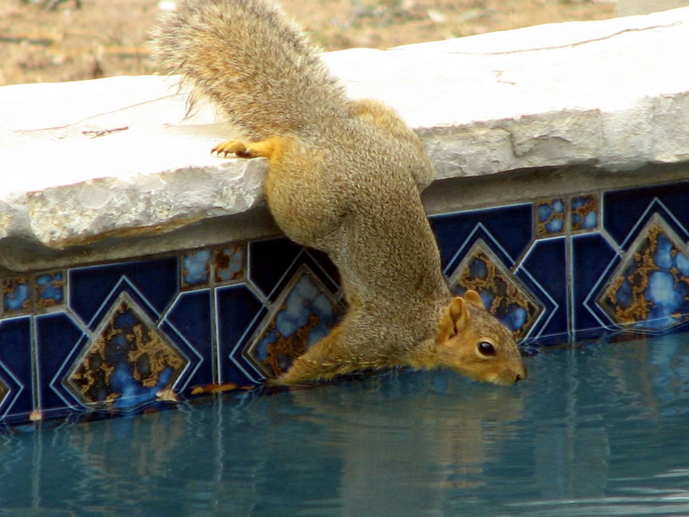 squirrel drinking from a swimming pool