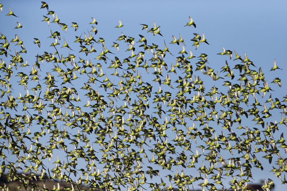 Wild Budgerigar Melopsittacus undulatus flock, Karratha, Pilbara region, Western Australia
