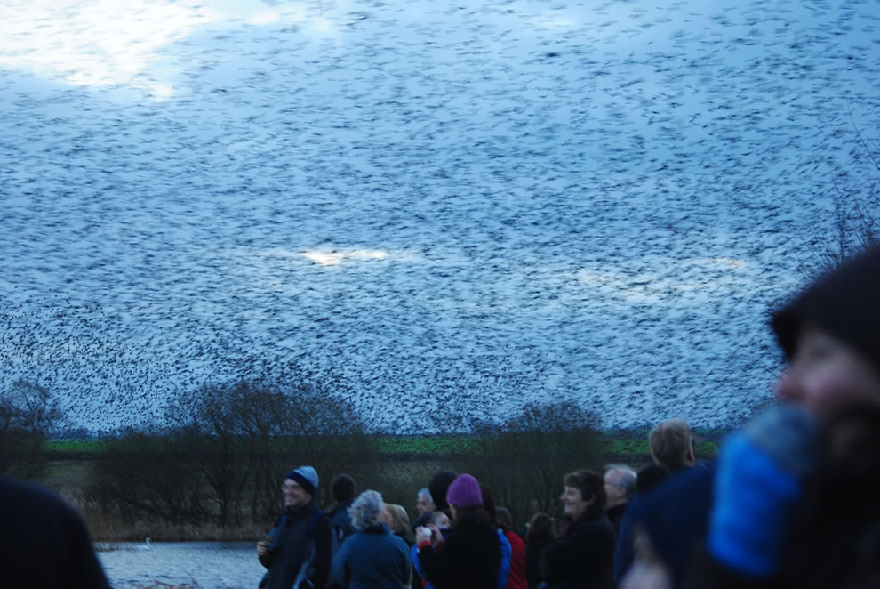 Starling flocks huge overhead, Break out the umbrella