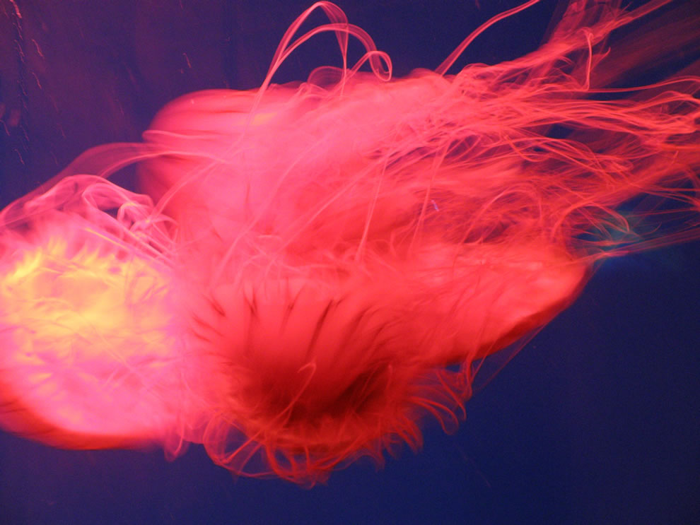 Fluorescent jellyfish in aquarium in Mystic, CT