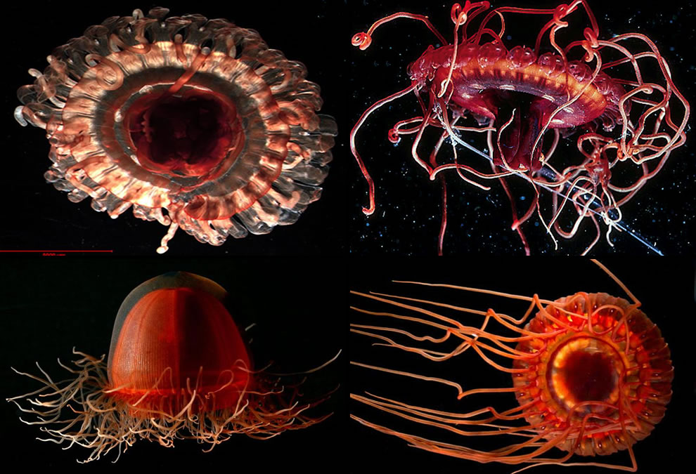 Microscopic jellyfish and deep red brilliant bioluminescence jellyfish