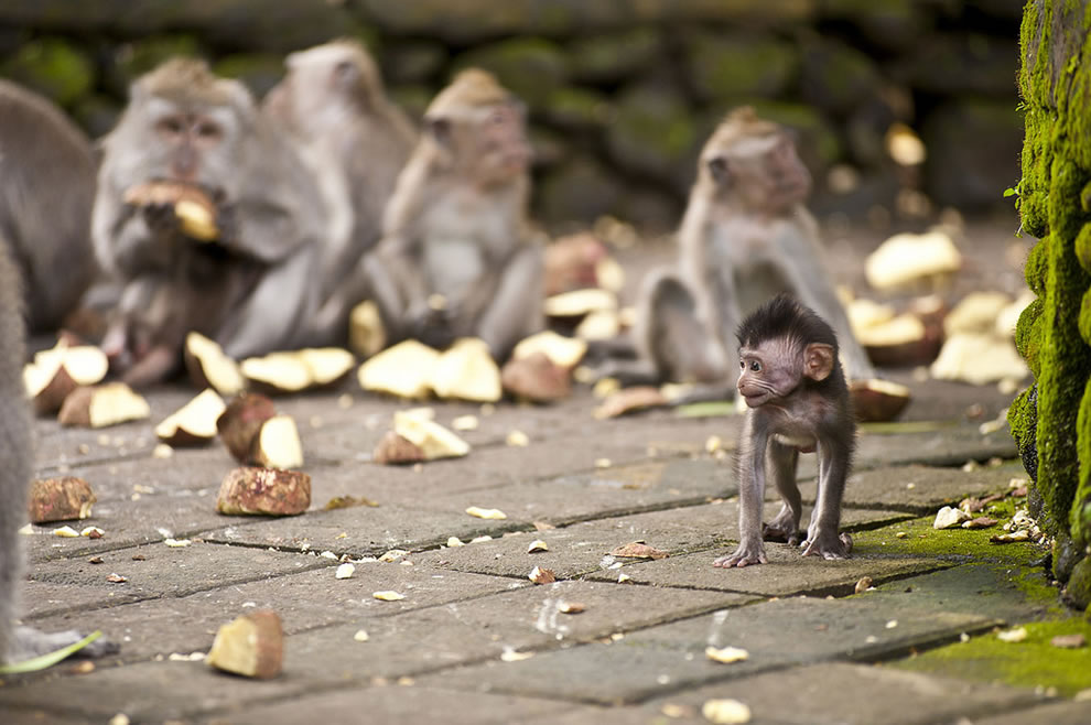Monkeys guarding the Balinese temples