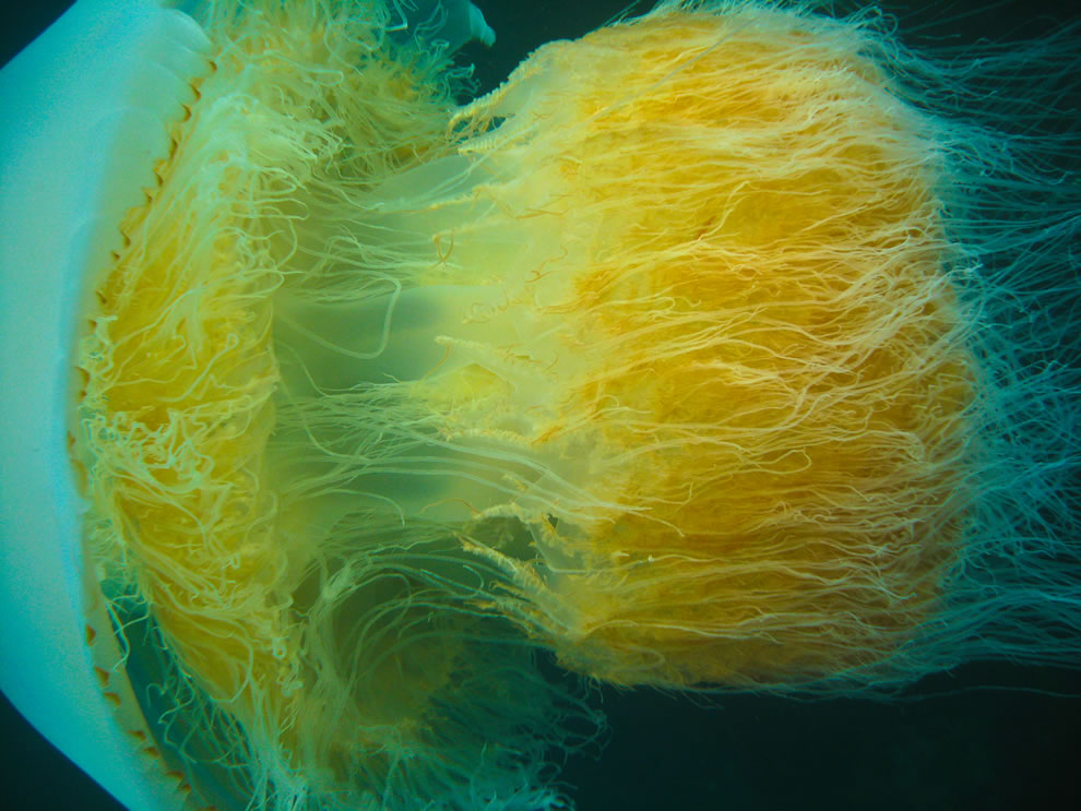 Nomura jellyfish in Little Munsom island, Jeju-do, South Korea