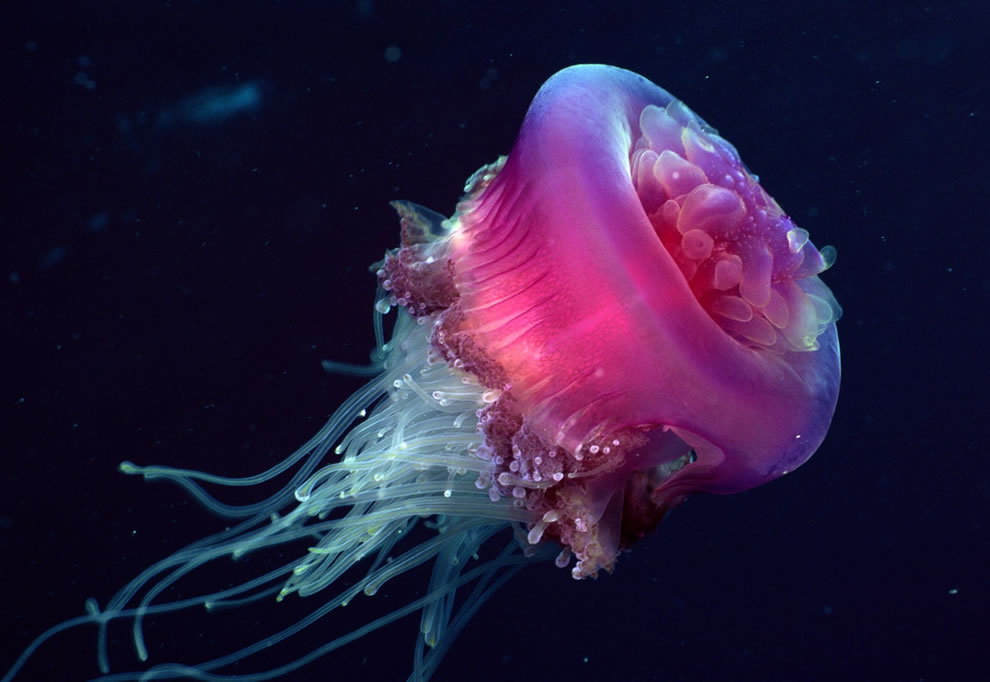 Pink and white delicate jellyfish