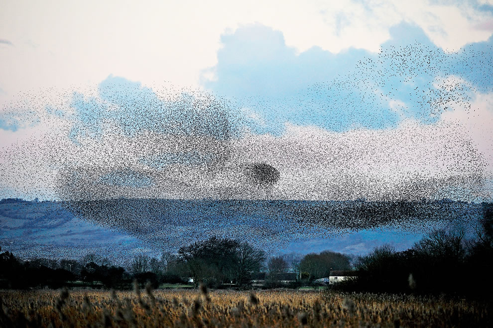 Starlings attack of the birds
