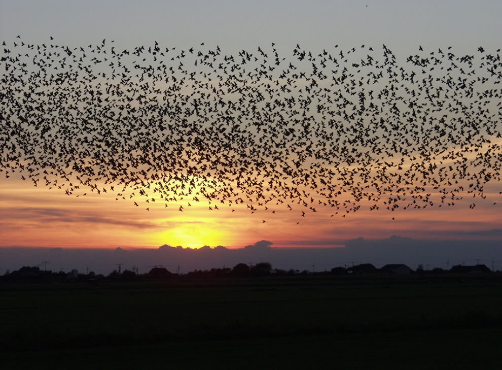 Starlings over Tøndermarsken, south-west Jutland, Denmark