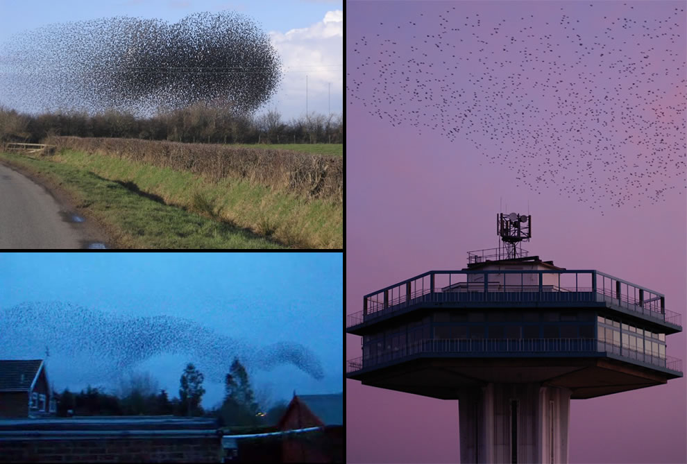 Flock of starlings acting as a swarm, flock of European Starlings gathers at sunset to roost