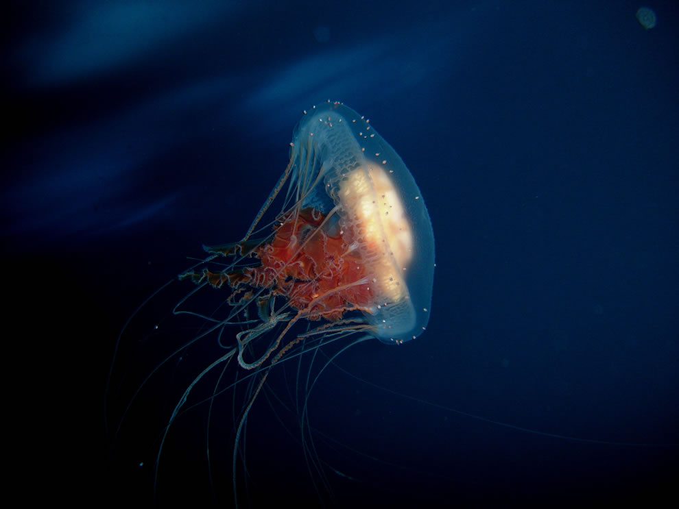 Diplulmaris antarctica‎ jellyfish under the Ross Sea ice, Antarctica